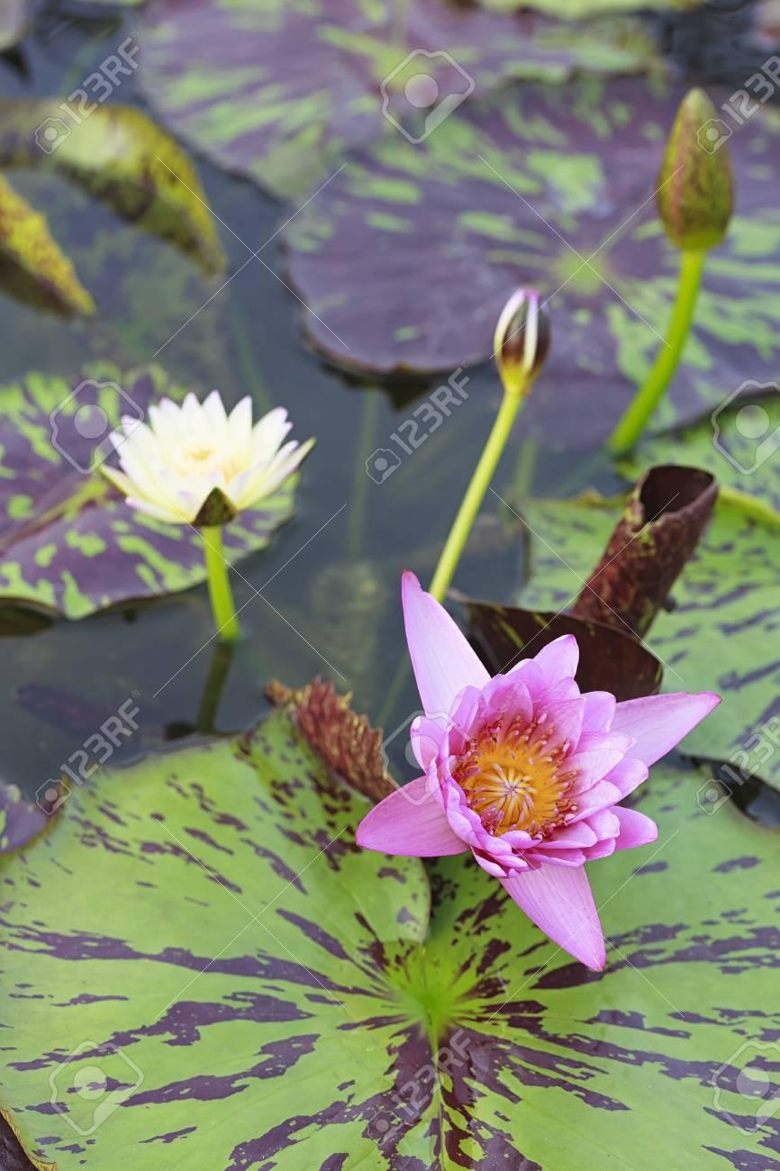Blossom Lotus Flower In Japanese Pond Focus On Flower Stock Photo