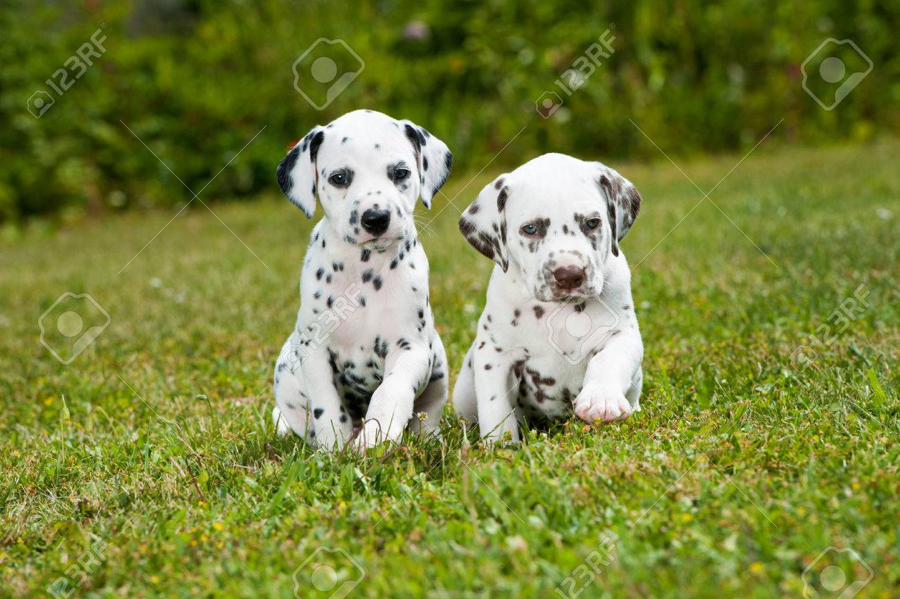 Dalmatian Puppies Playing On A Meadow Stock Photo Picture And