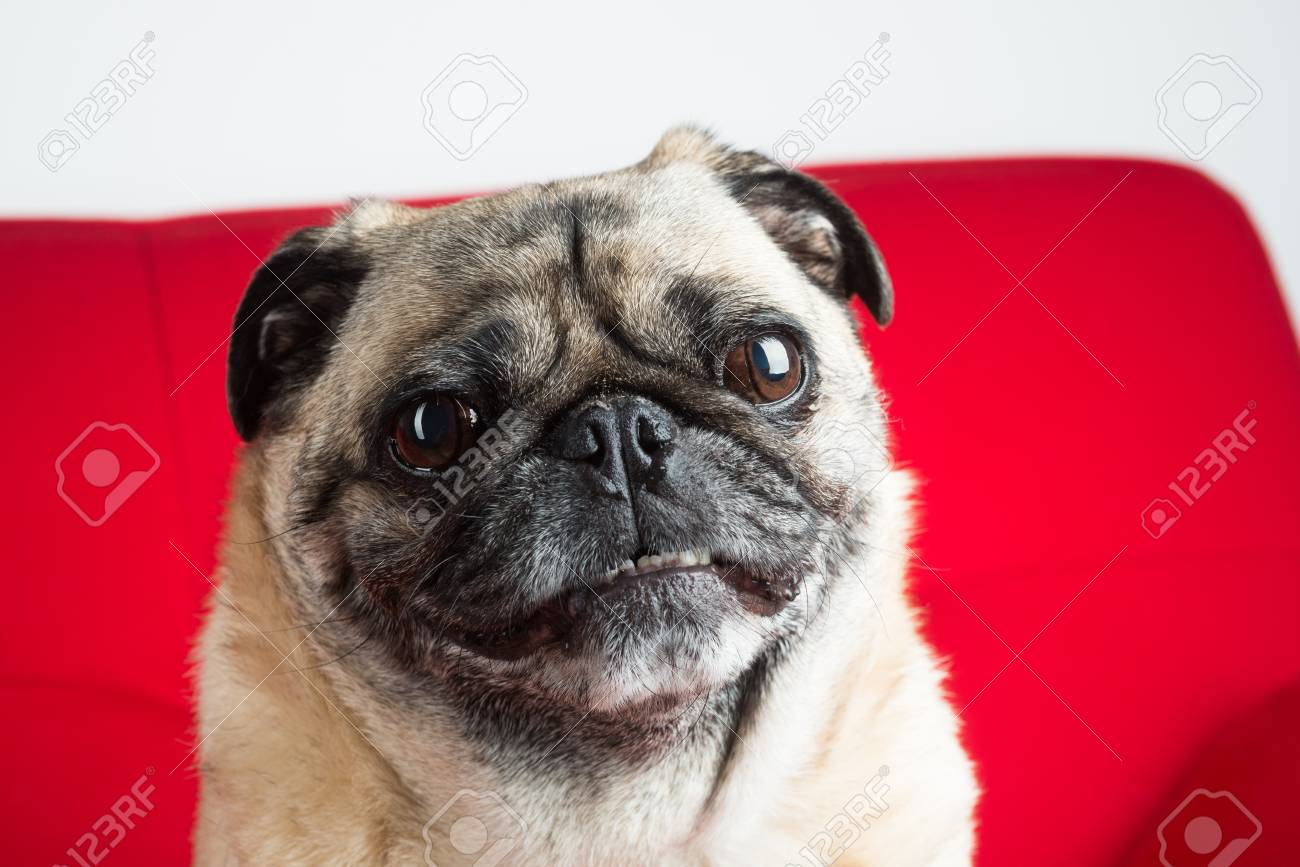 Pug on Red Couch Stock Photo - 18089293