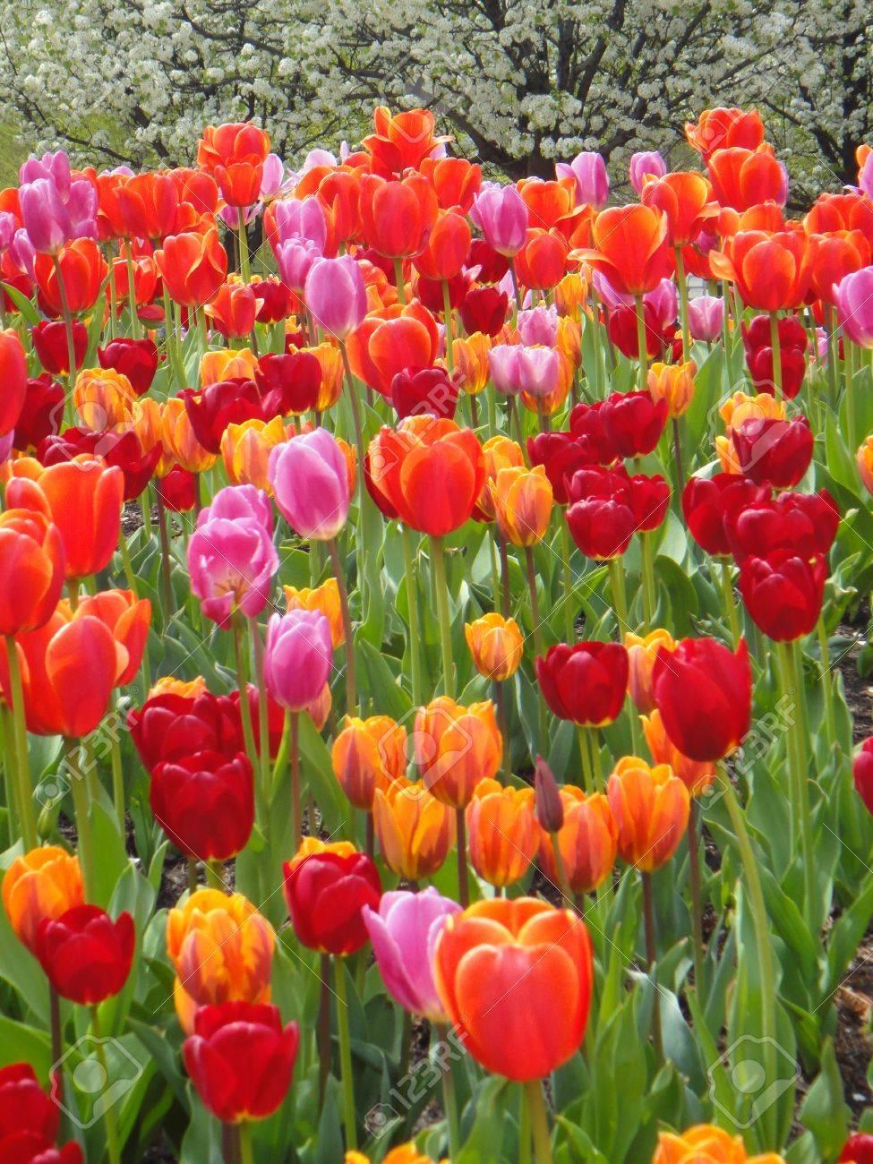 Tulips Stock Photo - 20365043