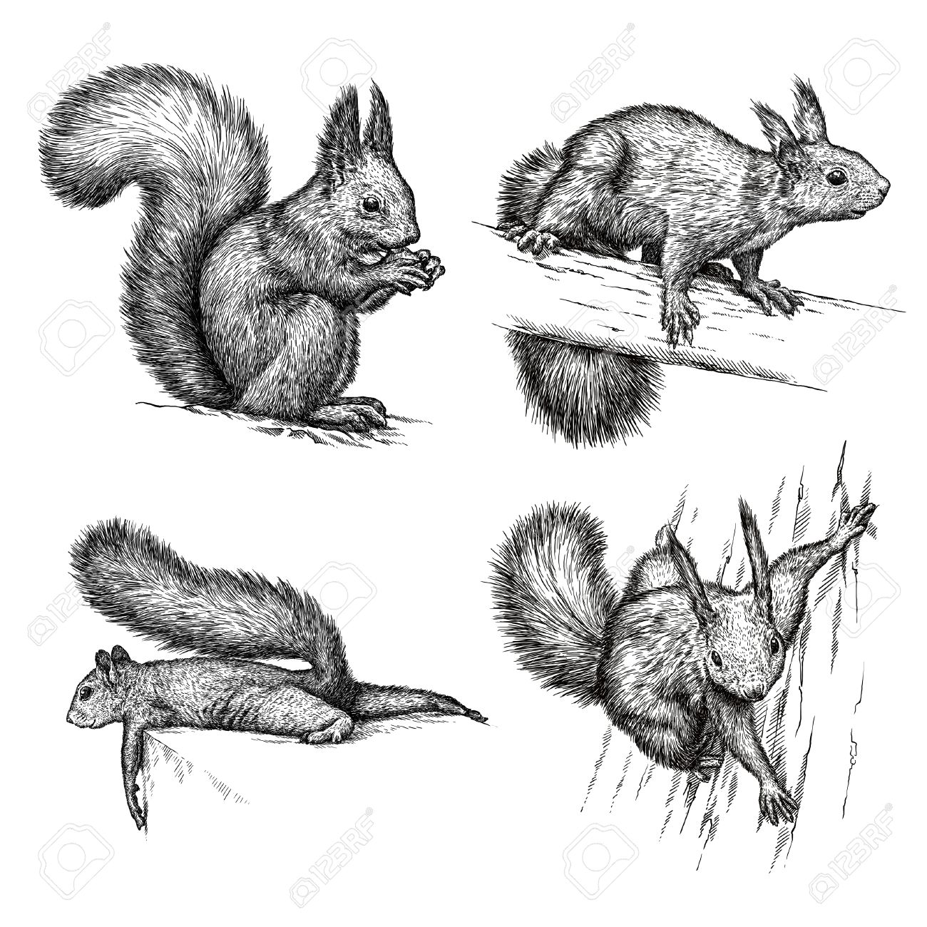 engrave isolated squirrel illustration sketch linear art stock