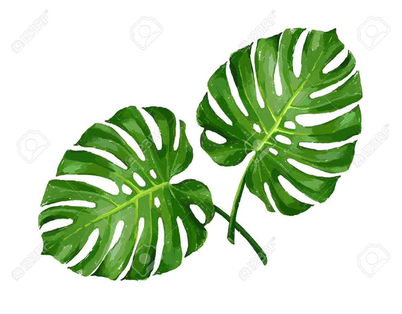 monstera tropical monstera leaf color isolated realistic illustration