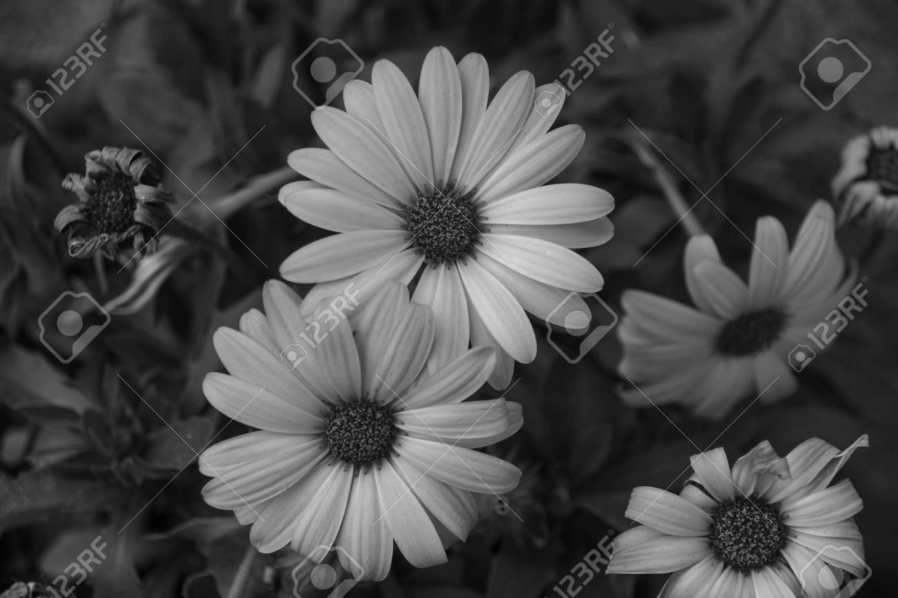 Flowers Done In Black And White Stock Photo Picture And Royalty