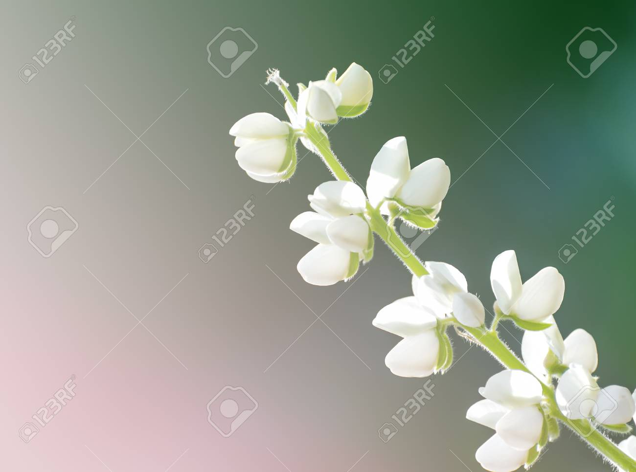 Beautiful soft color flower backgrounds nature white flower stock beautiful soft color flower backgrounds nature white flower stock photo 43519852 mightylinksfo