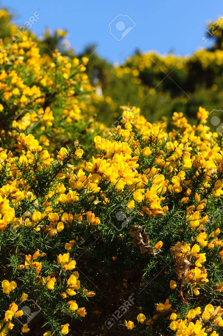 Common gorse ulex europaeus a thorny evergreen shrub with brilliant common gorse ulex europaeus a thorny evergreen shrub with brilliant yellow flowers stock photo 74355229 mightylinksfo