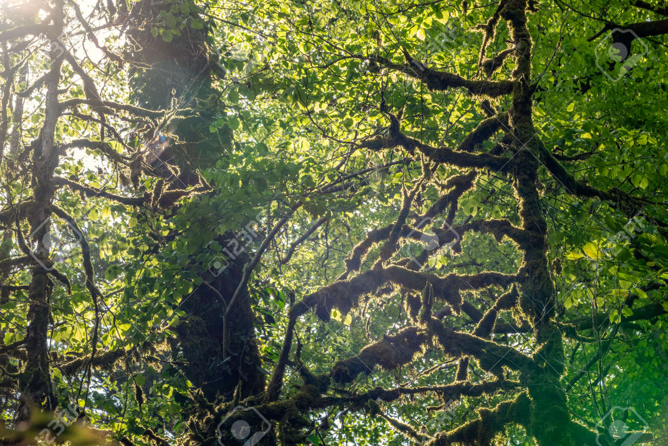 Trees overgrown with moss in a dense forest are lit by the sun. Spring or summer natural background. - 134042874