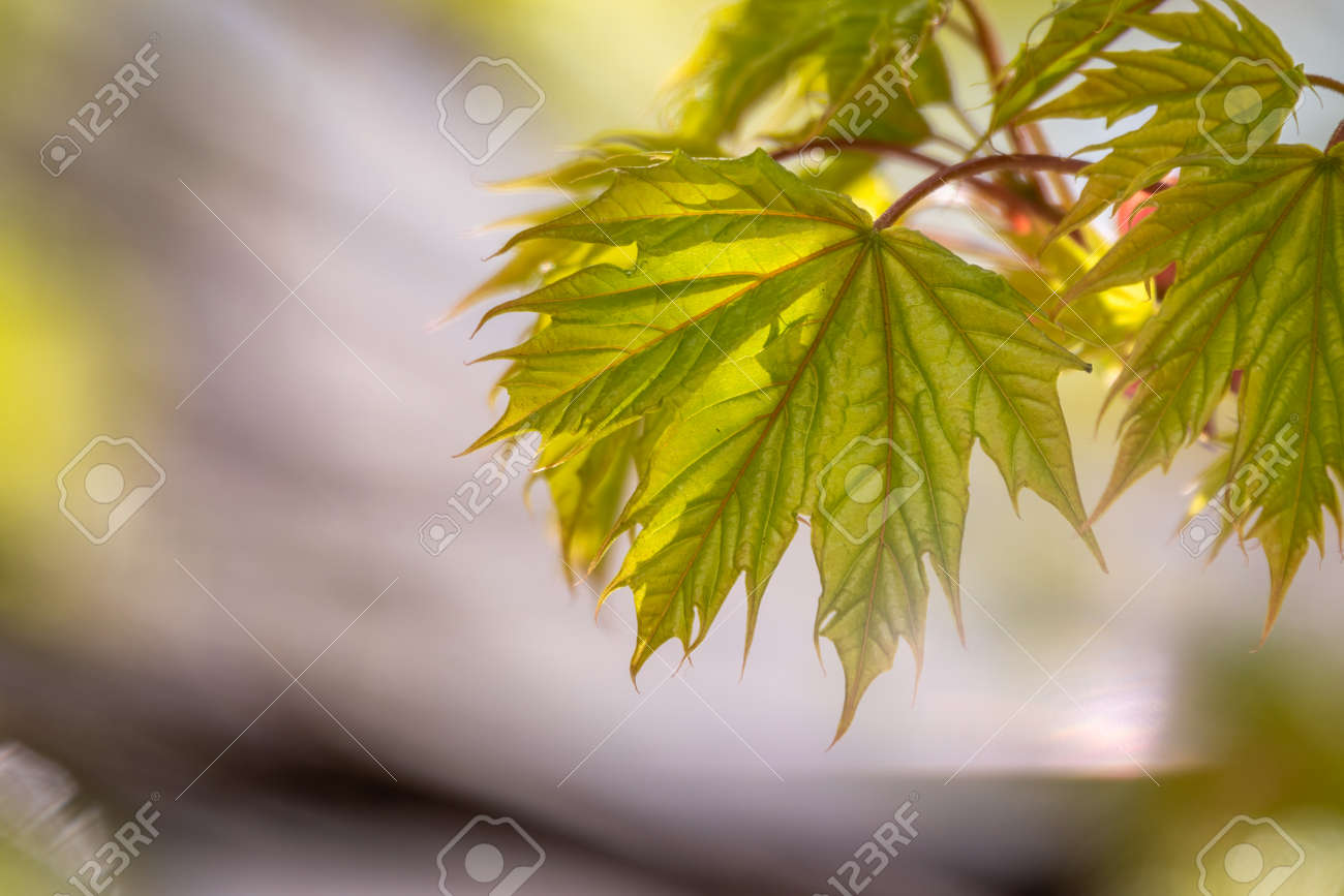 Blooming Norway Maple, platanoides, in beautiful light. Spring season background, spring colors - 170095181