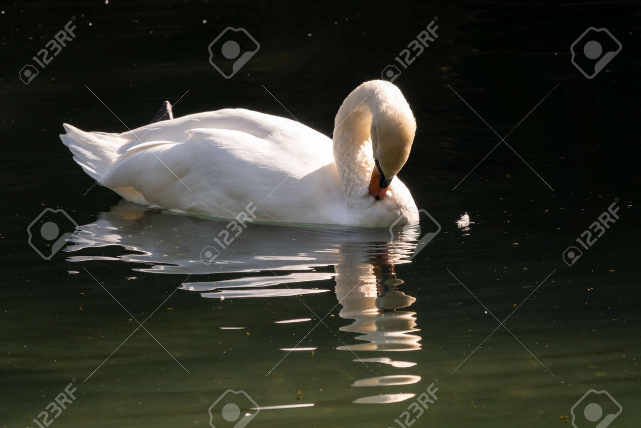 A graceful white swan swimming on a lake with dark green water. The white swan is reflected in the water. The mute swan, Cygnus olor - 170095459