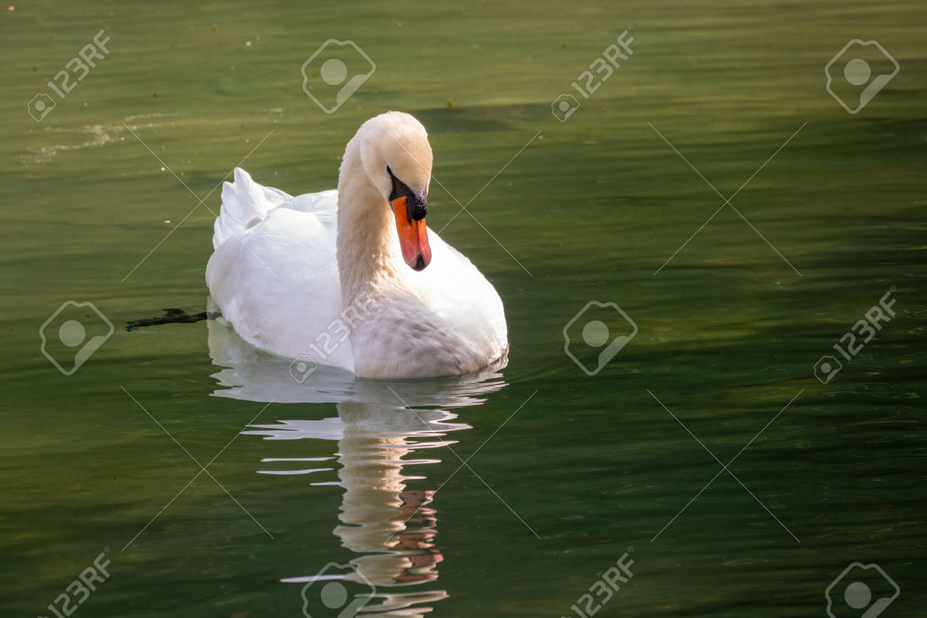 A graceful white swan swimming on a lake with dark green water. The white swan is reflected in the water. The mute swan, Cygnus olor - 170095460