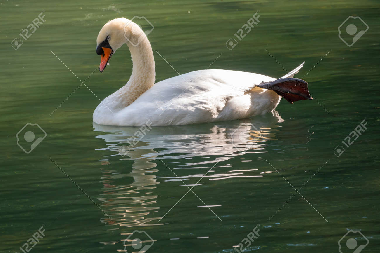 A graceful white swan swimming on a lake with dark green water. The white swan is reflected in the water. The mute swan, Cygnus olor - 170095461