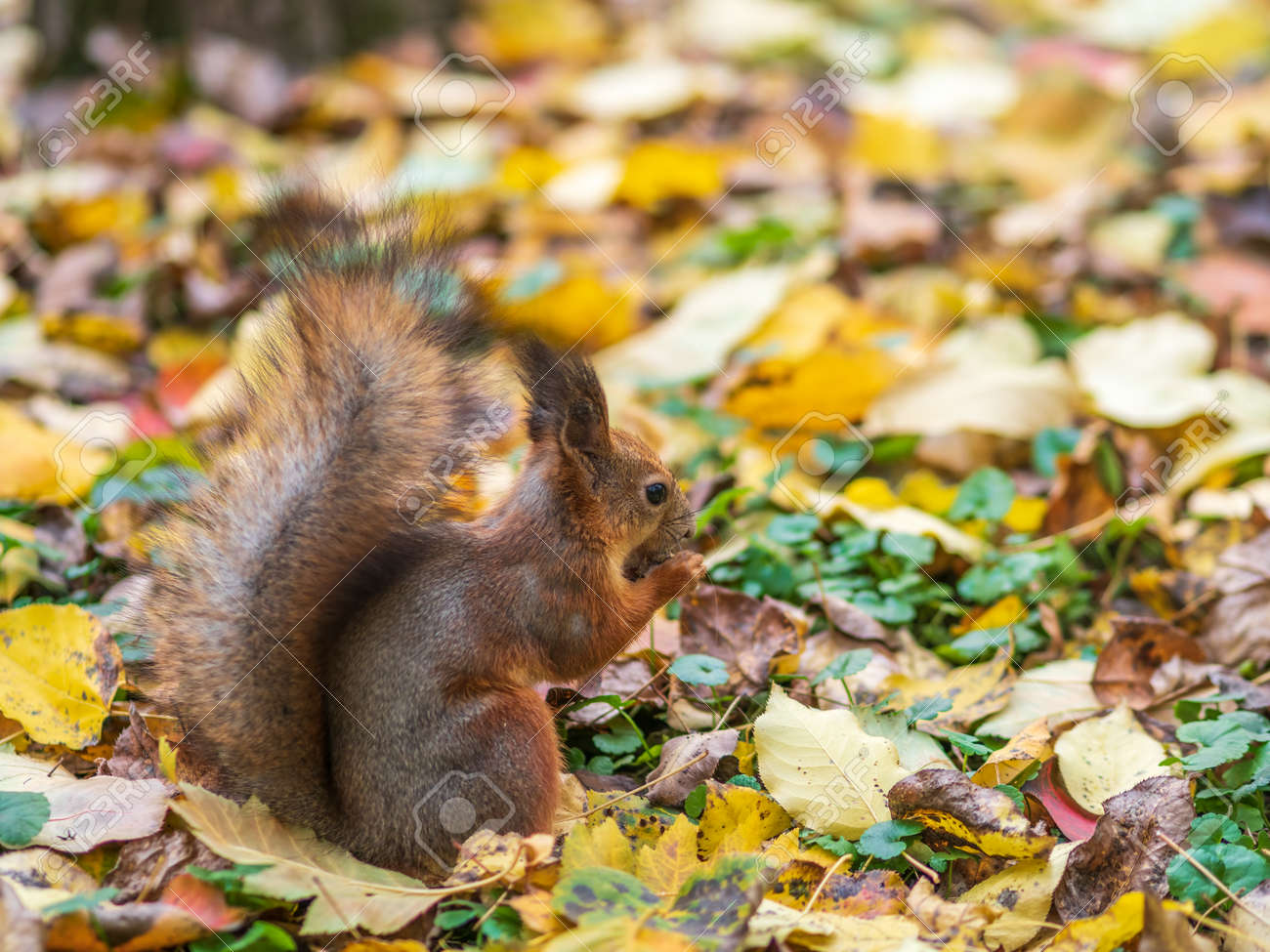 Squirrel with nut in autumn on green grass with fallen yellow leaves - 170095738