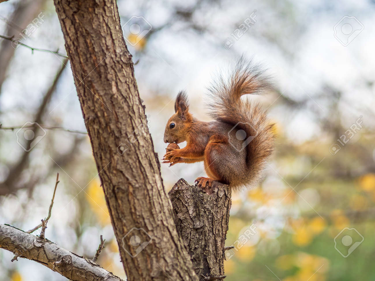 Autumn squirrel with nut sits on a branch. Wild animal. Autumn forest. - 170095750