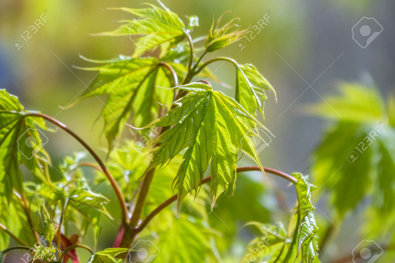 Blooming Norway Maple, Acer platanoides, in beautiful light. Spring season background, spring colors - 170095497