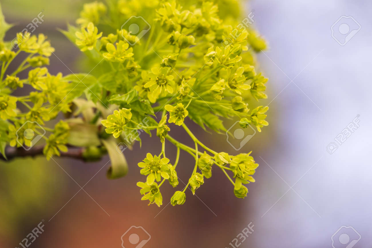 Blooming Norway Maple, Acer platanoides, in beautiful light. Spring season background, spring colors - 170095183