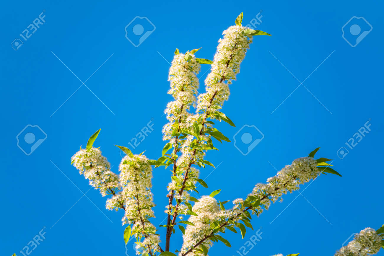 White cherry flowers on blue sky background. The branches of a blossoming tree. Cherry tree with white flowers. Blurred background. - 170296100