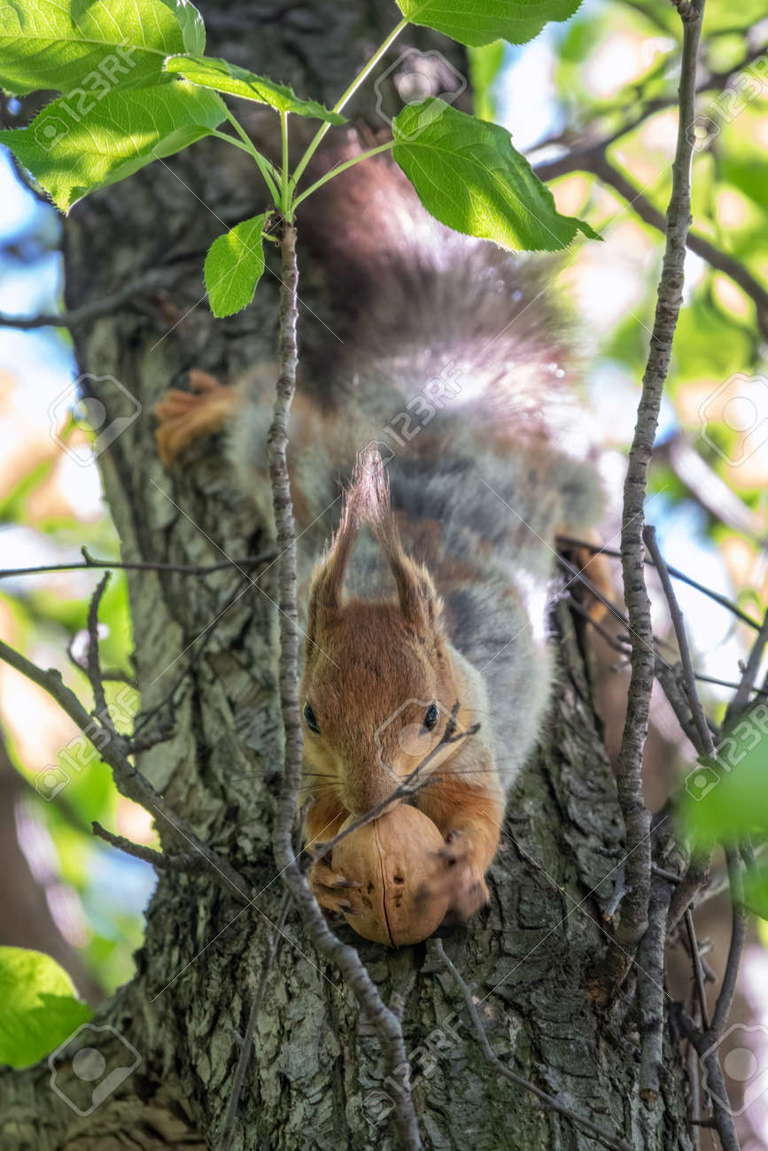 The squirrel with nut sits on a branches in the spring or summer. Eurasian red squirrel, Sciurus vulgaris - 170294826
