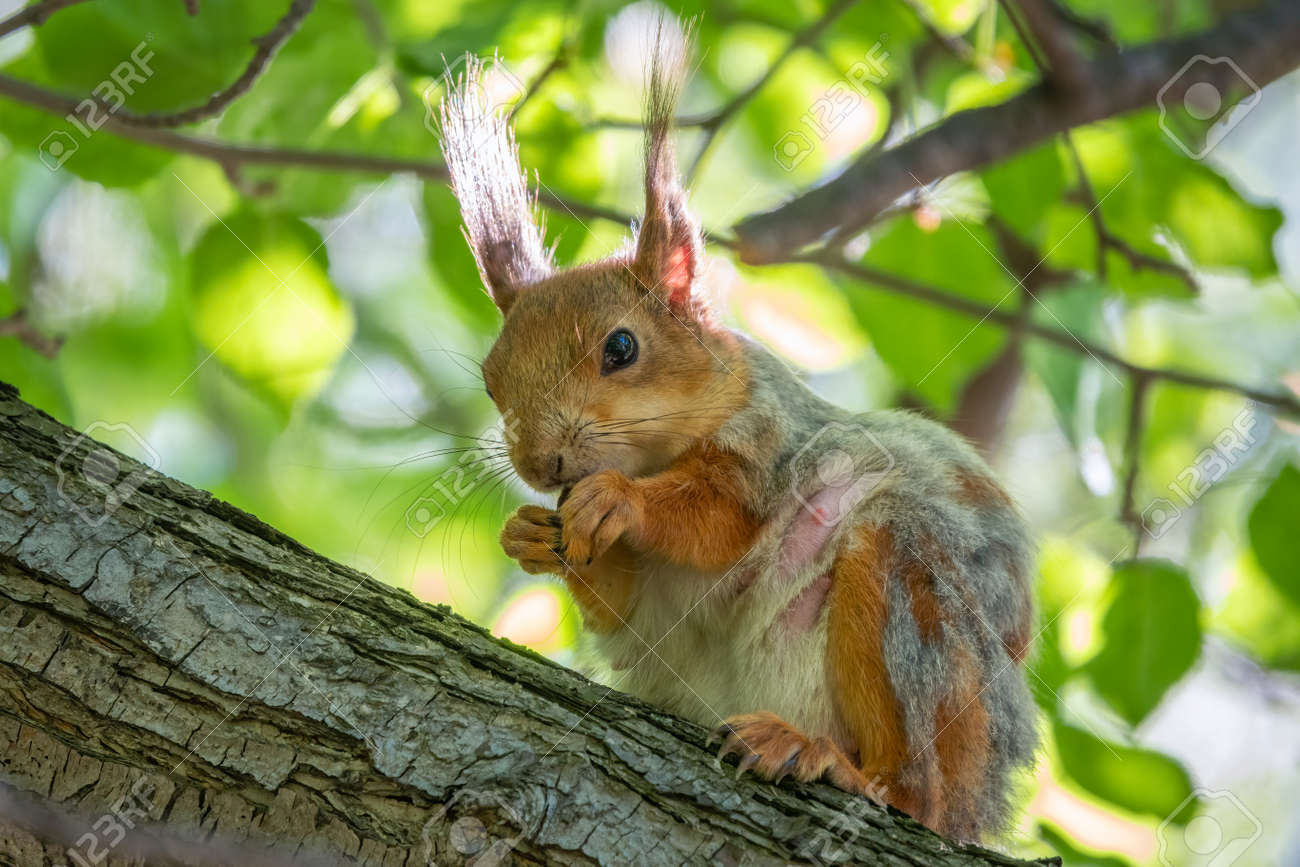 The squirrel with nut sits on a branches in the spring or summer. Eurasian red squirrel, Sciurus vulgaris - 170295779