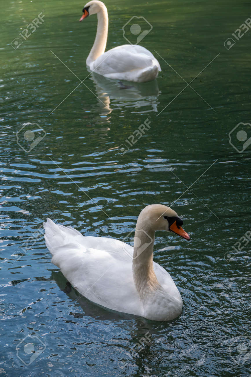 Two graceful white swans swim in the dark water. The mute swan, Cygnus olor - 170295131