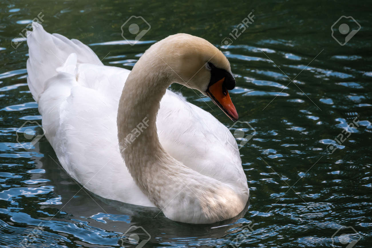 A graceful white swan swimming on a lake with dark green water. The white swan is reflected in the water. The mute swan, Cygnus olor - 170295857