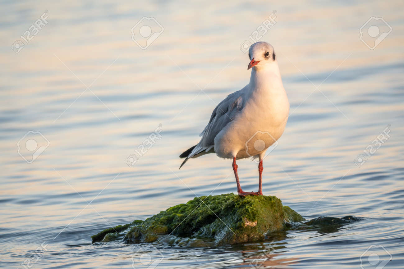 Seagull sits on stone cliff at the sea shore. The European herring gull, Larus argentatus - 170295238