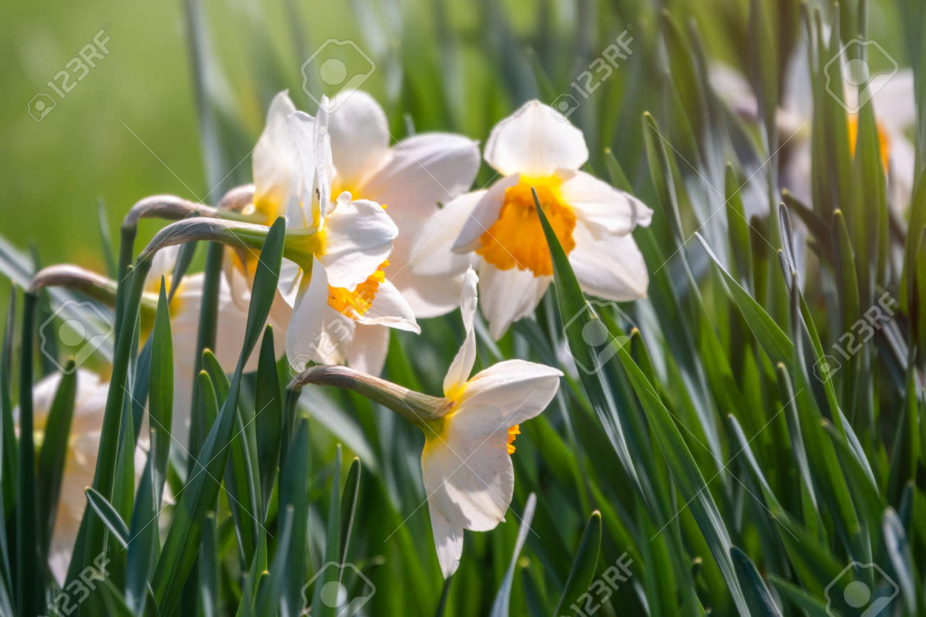 White daffodil flower with a yellow center in sunlight on a green background. Narcissus or daffodil flower - 170220716