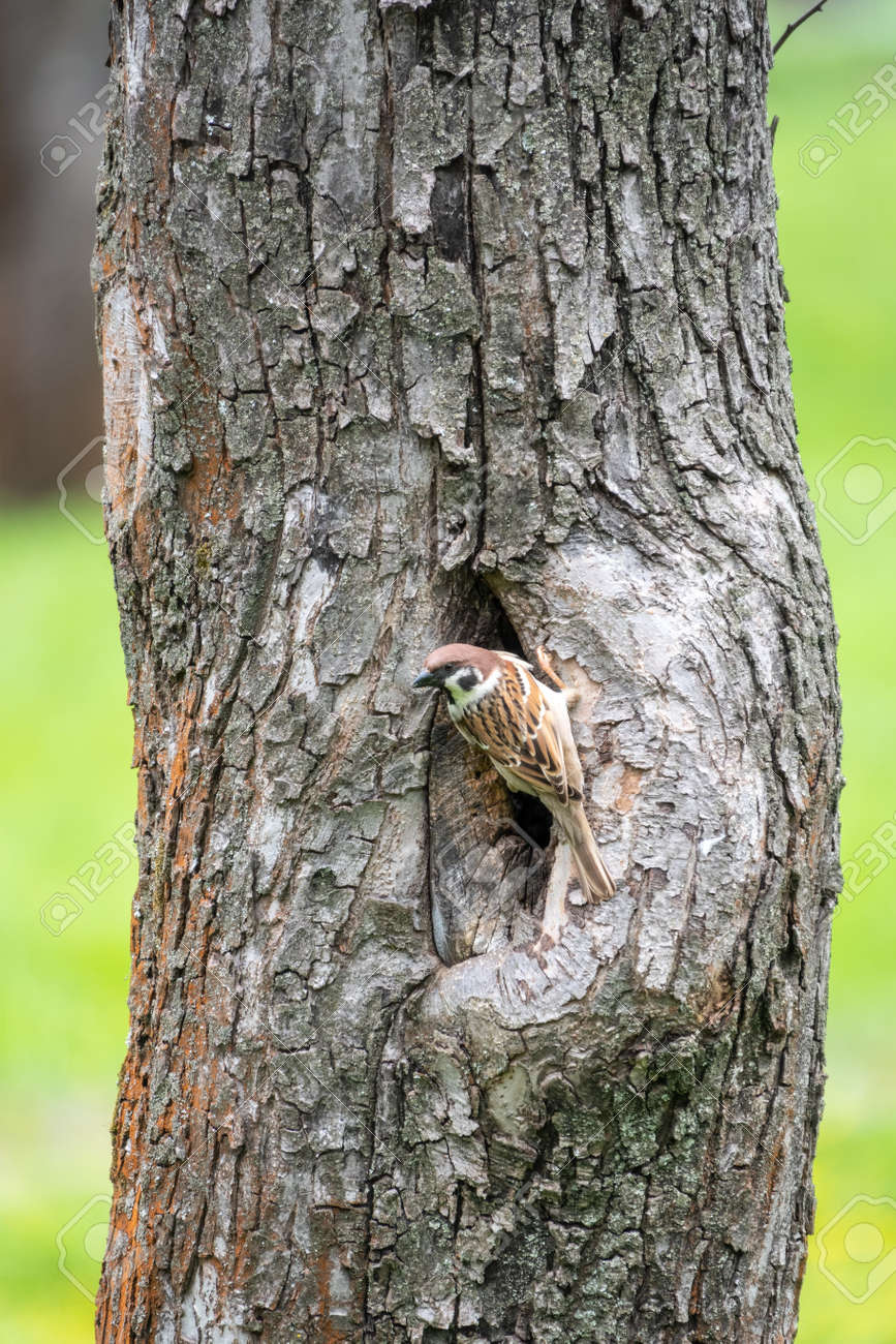 Sparrow sits on a tree trunk near the hollow and is wary of the situation. - 170220739