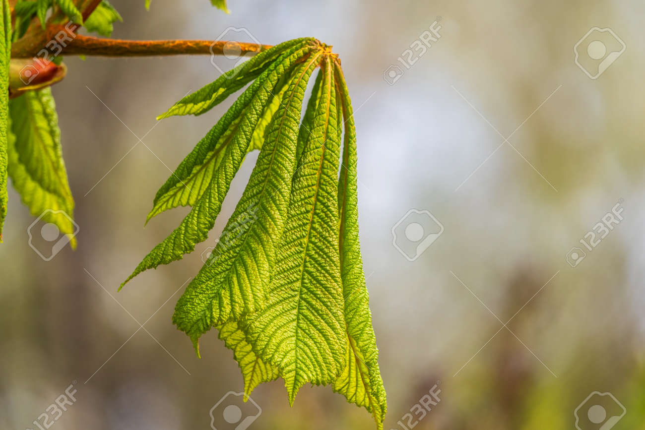 Green Chestnut Leaves in beautiful light. Spring season, spring colors. Aesculus hippocastanum, the horse chestnut - 170219795