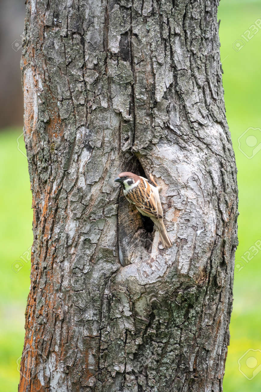 Sparrow sits on a tree trunk near the hollow and is wary of the situation. - 170384977