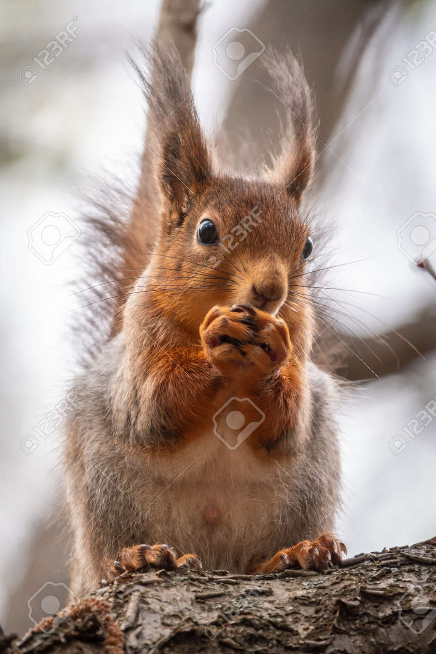 The squirrel with nut sits on a branches in the spring or summer. Eurasian red squirrel, Sciurus vulgaris - 170385591