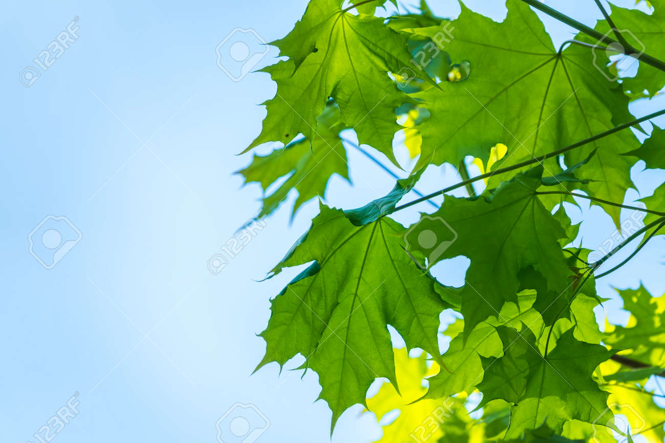 Spring branches of maple tree with fresh green leaves on a background of blue sky. Spring leaves and blue sky as background. Spring background with copy space - 170316871
