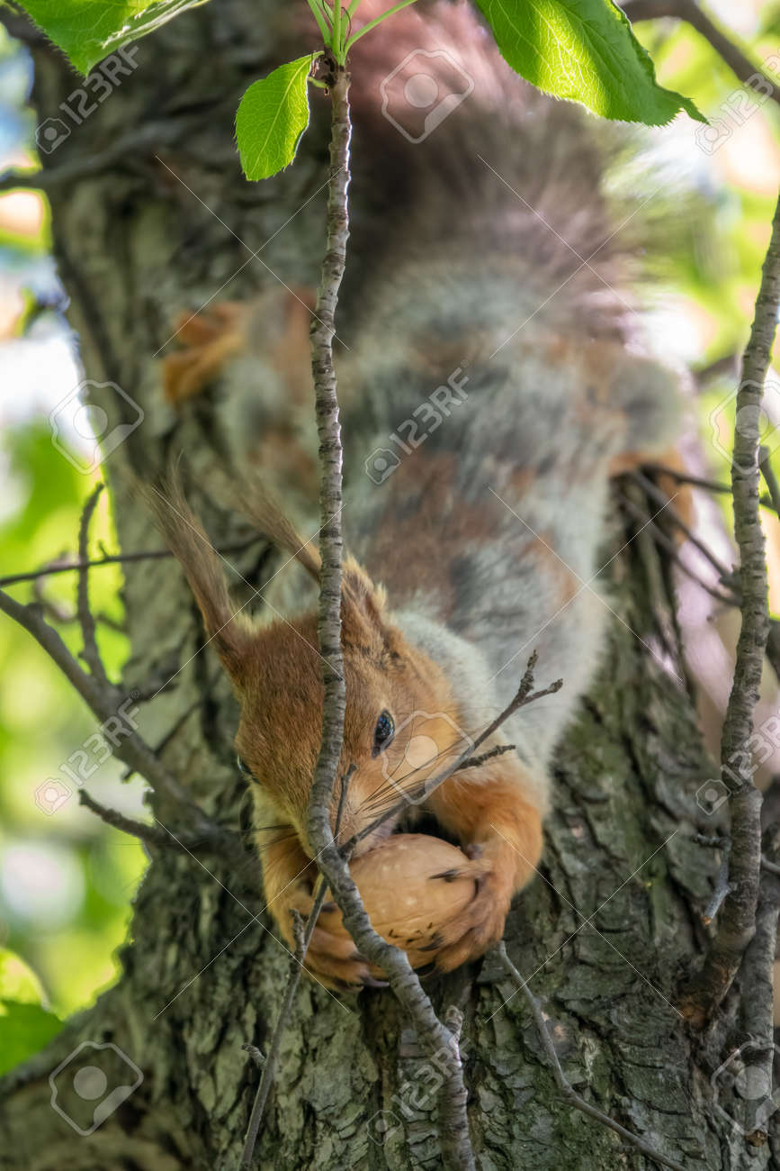 The squirrel with nut sits on a branches in the spring or summer. Eurasian red squirrel, Sciurus vulgaris - 170399568