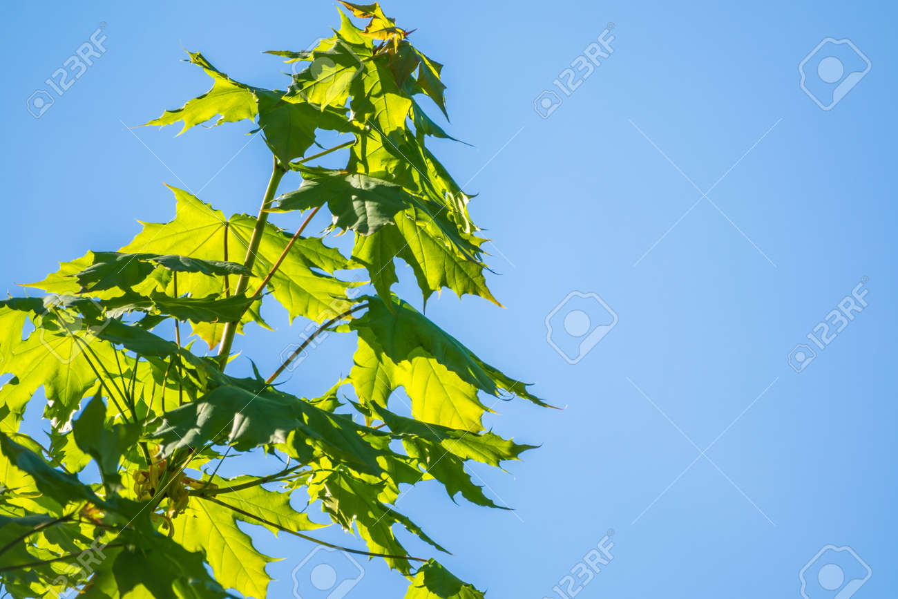 Spring branches of maple tree with fresh green leaves on a background of blue sky. Spring leaves and blue sky as background. Spring background with copy space - 170399492