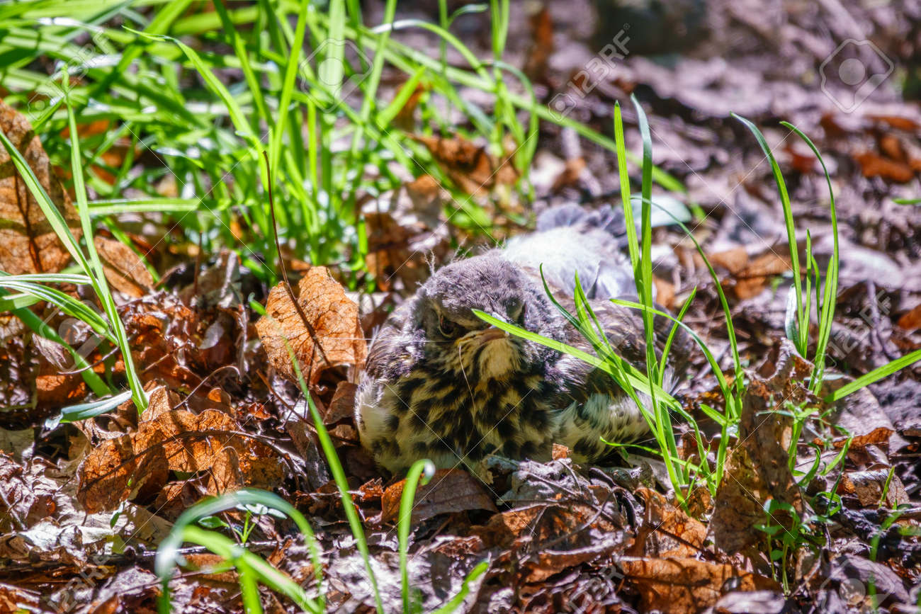 A fieldfare chick, Turdus pilaris, has left the nest and sitting on the spring lawn. A fieldfare chick sits on the ground and waits for food from its parents. Wildlife scene from spring forest. - 170399768