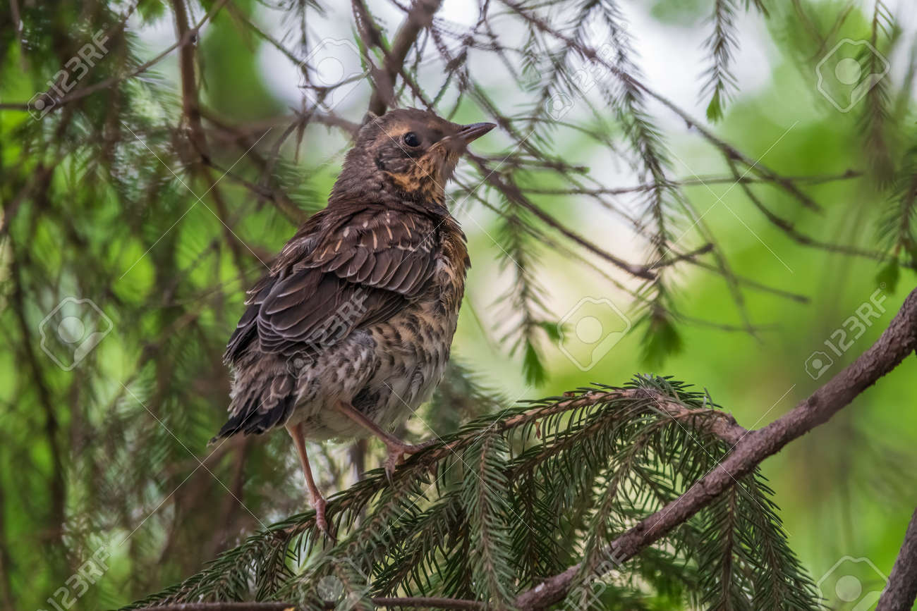 A fieldfare chick, Turdus pilaris, has left the nest and is sitting on a branch. A chick of fieldfare sitting and waiting for a parent on a branch. Wildlife scene from spring forest. - 170399777