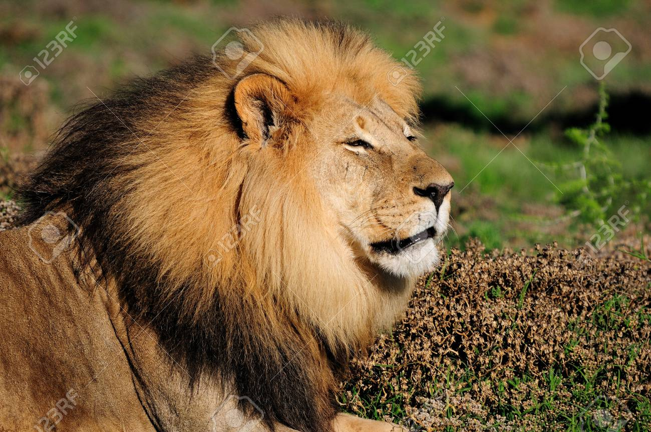 A Kalahari lion, panthera leo, in the Kuzuko contractual area of the Addo Elephant National Park in South Africa Stock Photo - 13331036