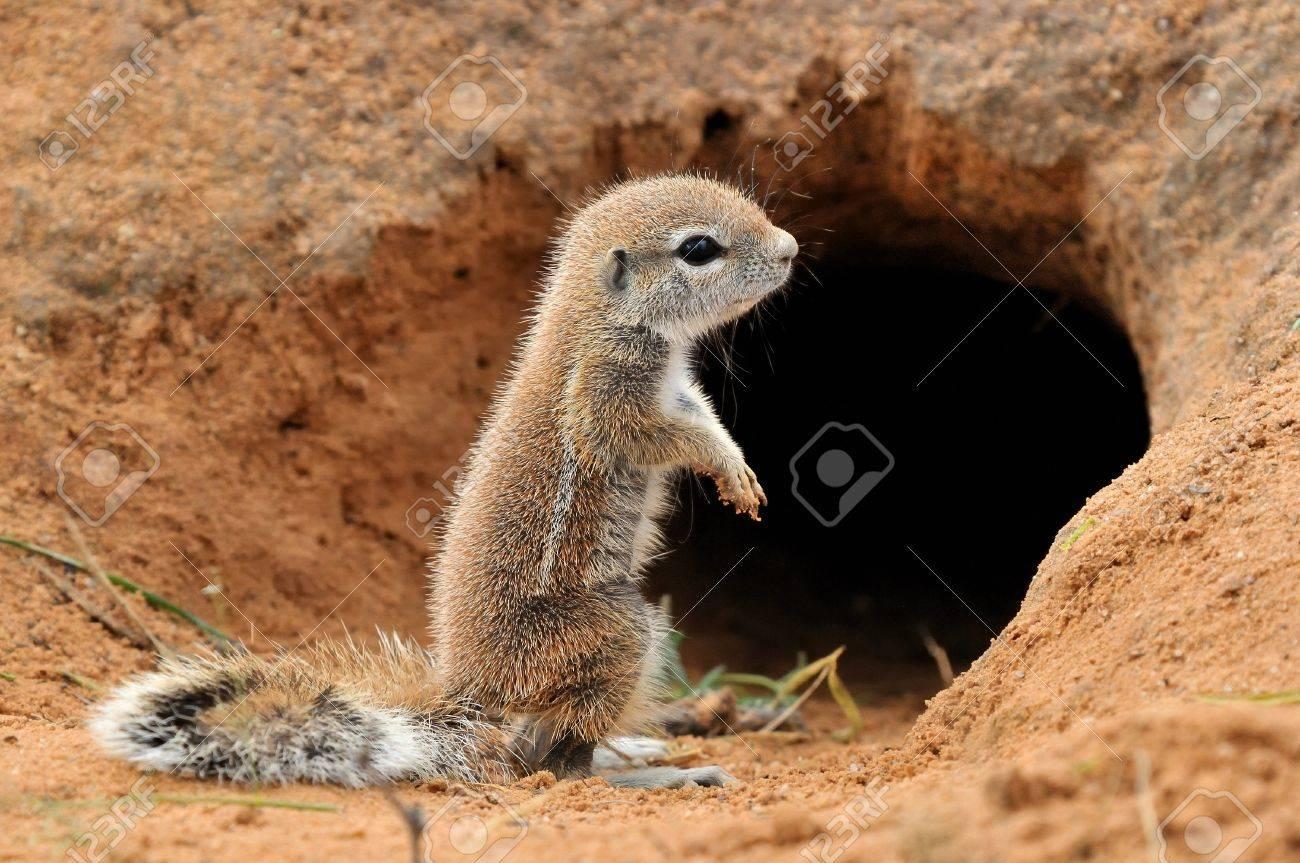 Cape Ground Squirrel (Xerus Inauris). Photo taken at Mata Mata in the Kgalagadi Transfrontier Park, South Africa Stock Photo - 14964312