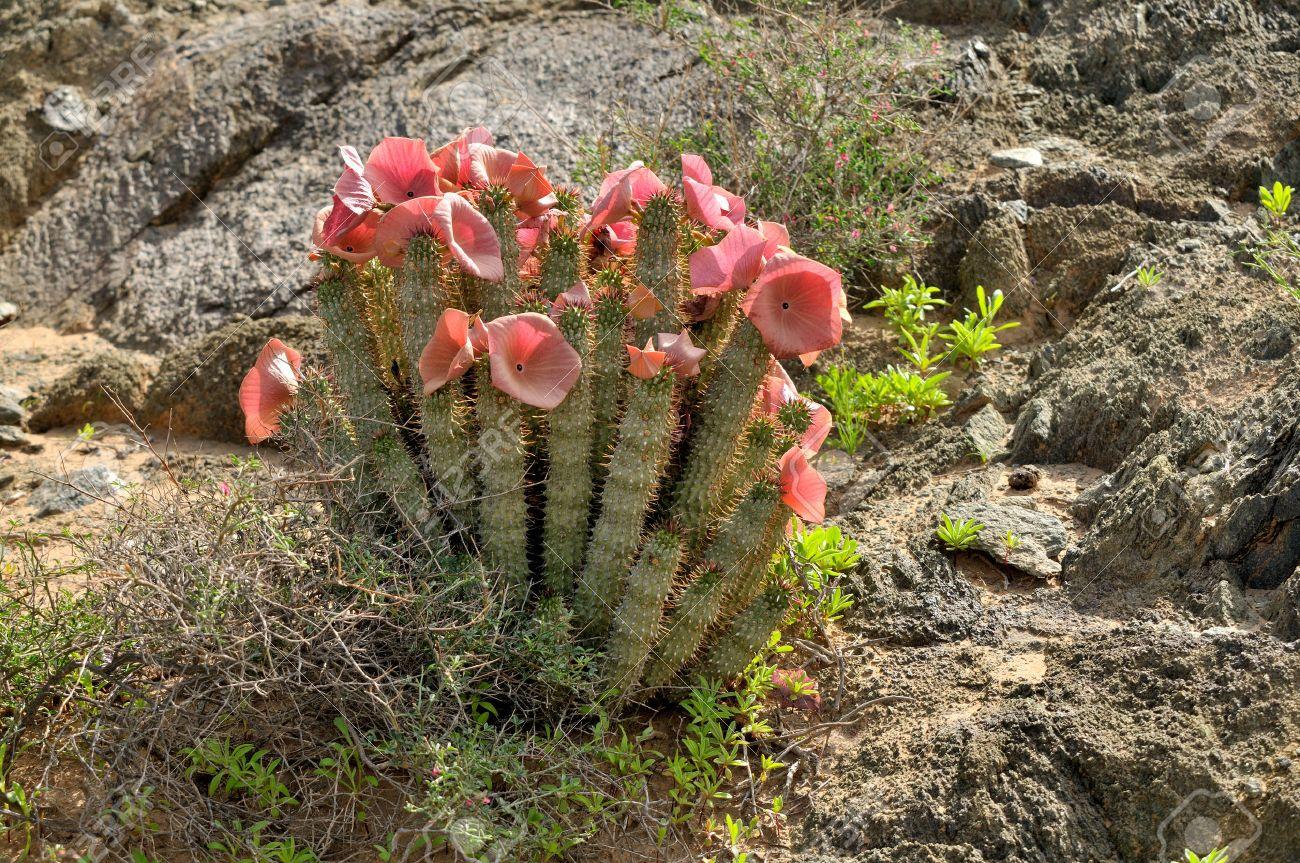 Hoodia Gordonii A Medicinal Plant In Flower Ai Ais Richterveld