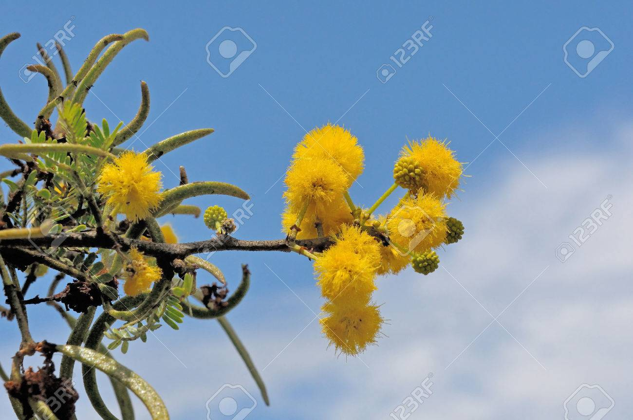 Sweet Thorn Tree Acacia Karroo Common In Drier Parts Of Southern