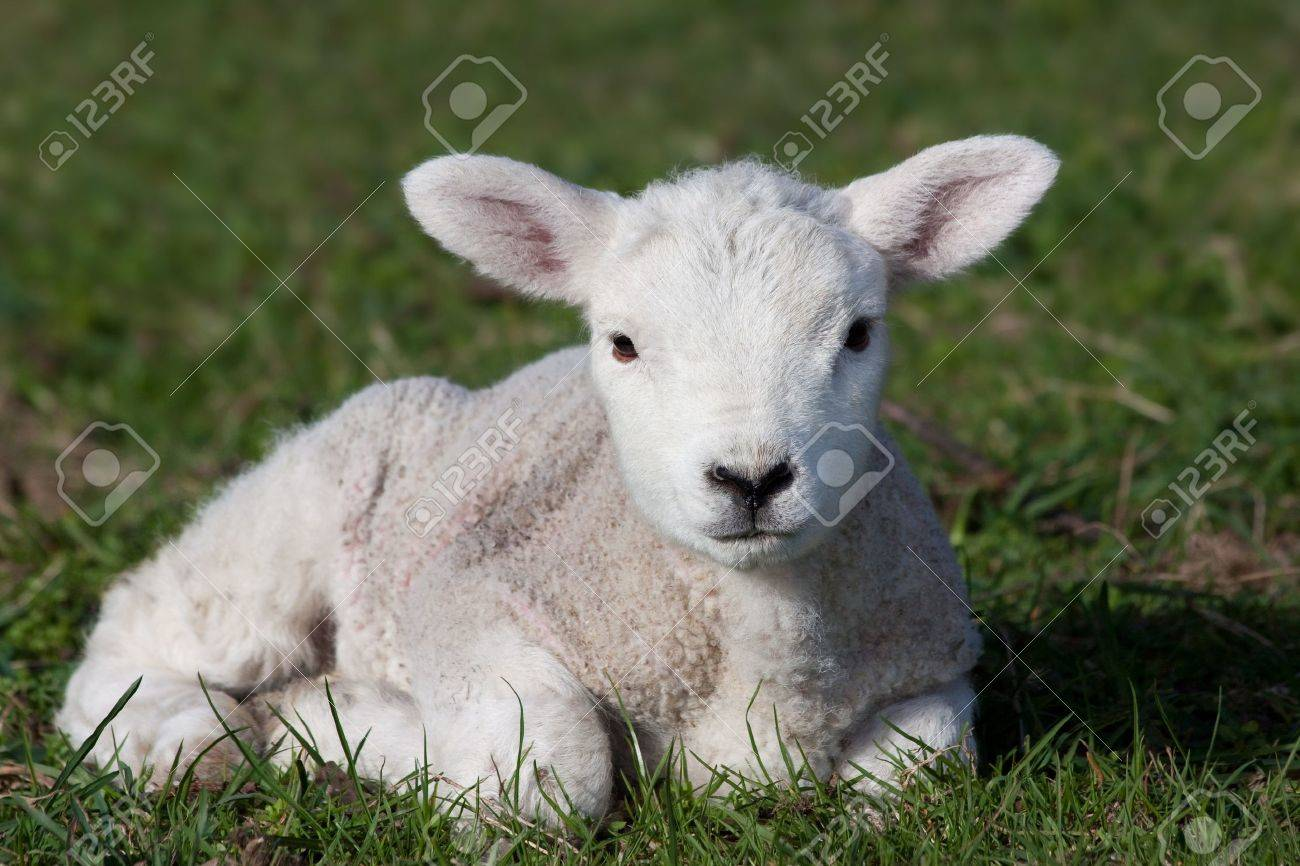 Close-up of lamb lying in field Stock Photo - 9203980