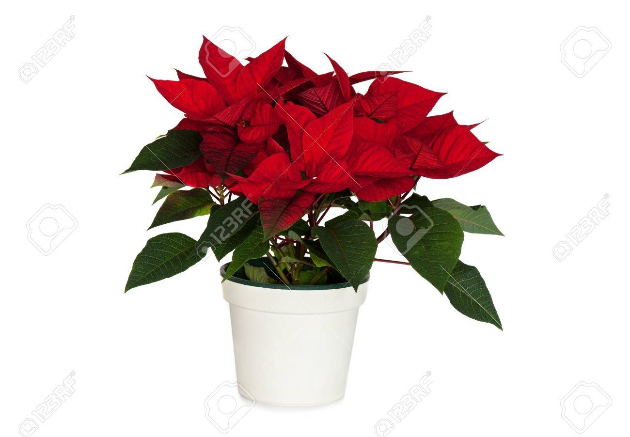 Poinsettia In White Pot Isolated On White Stock Photo Picture And
