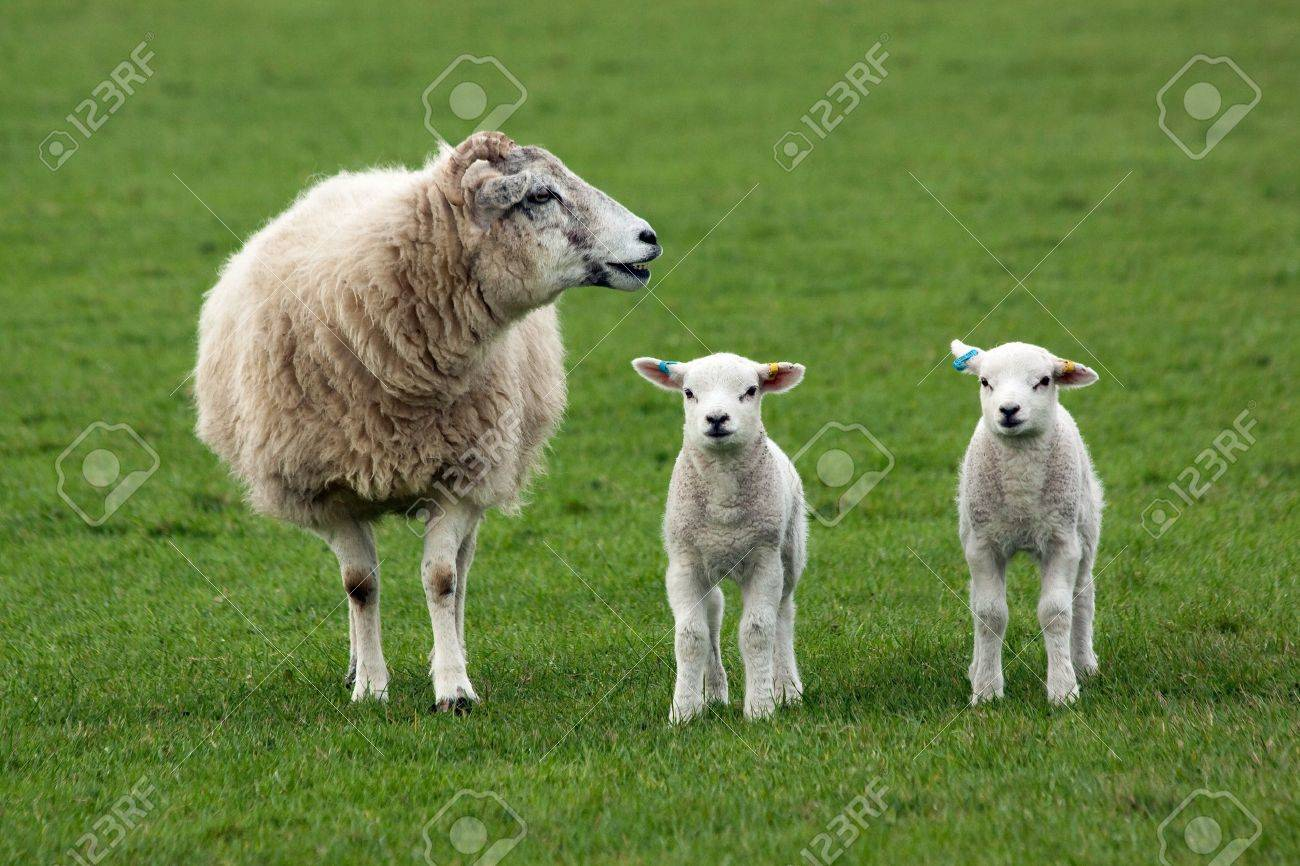 Sheep and two lambs in field Stock Photo - 11799685