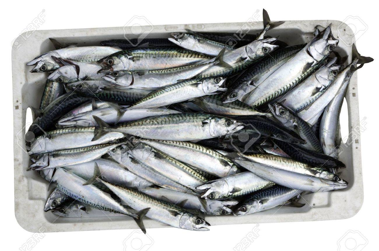 Crate of recently caught Mackerel isolated on white Stock Photo - 14813743