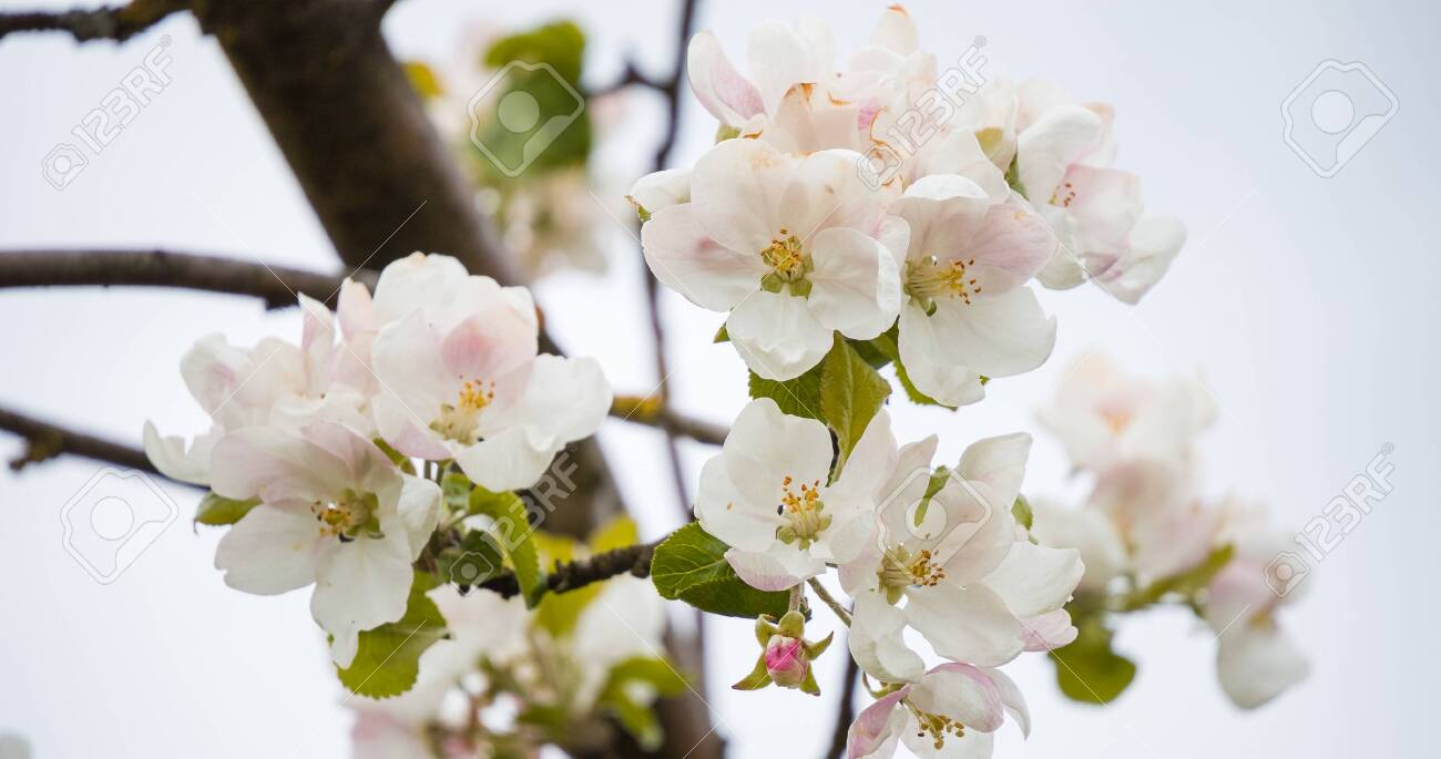 Blooming apple tree in spring with beautiful flowers. Low depth of field, close-up. Blurred light background - 147753756