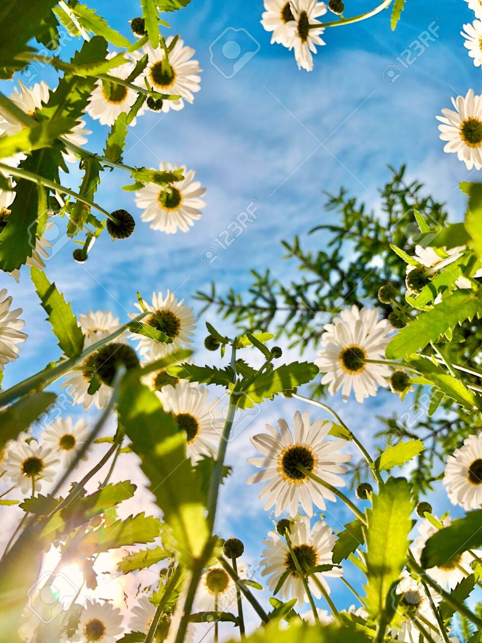 Summer flowers background. Looking up through white daisies into the blue sky in sunlight - 149826298