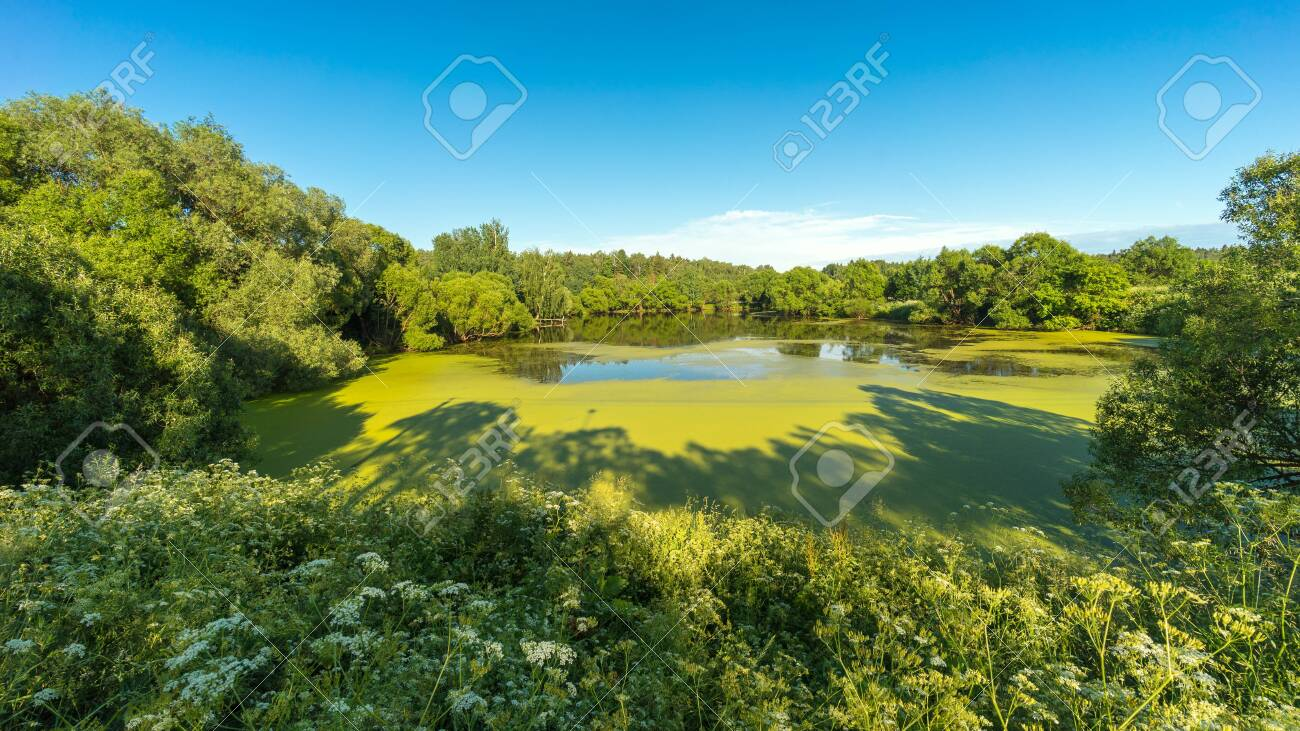 Summer landscape panorama of russian nature. View on pond between green trees overgrown with duckweed and blooming grass under blue sky in sunny day - 149876444