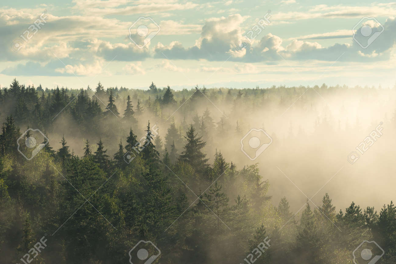 Spruce fir forest in the fog - 155421072