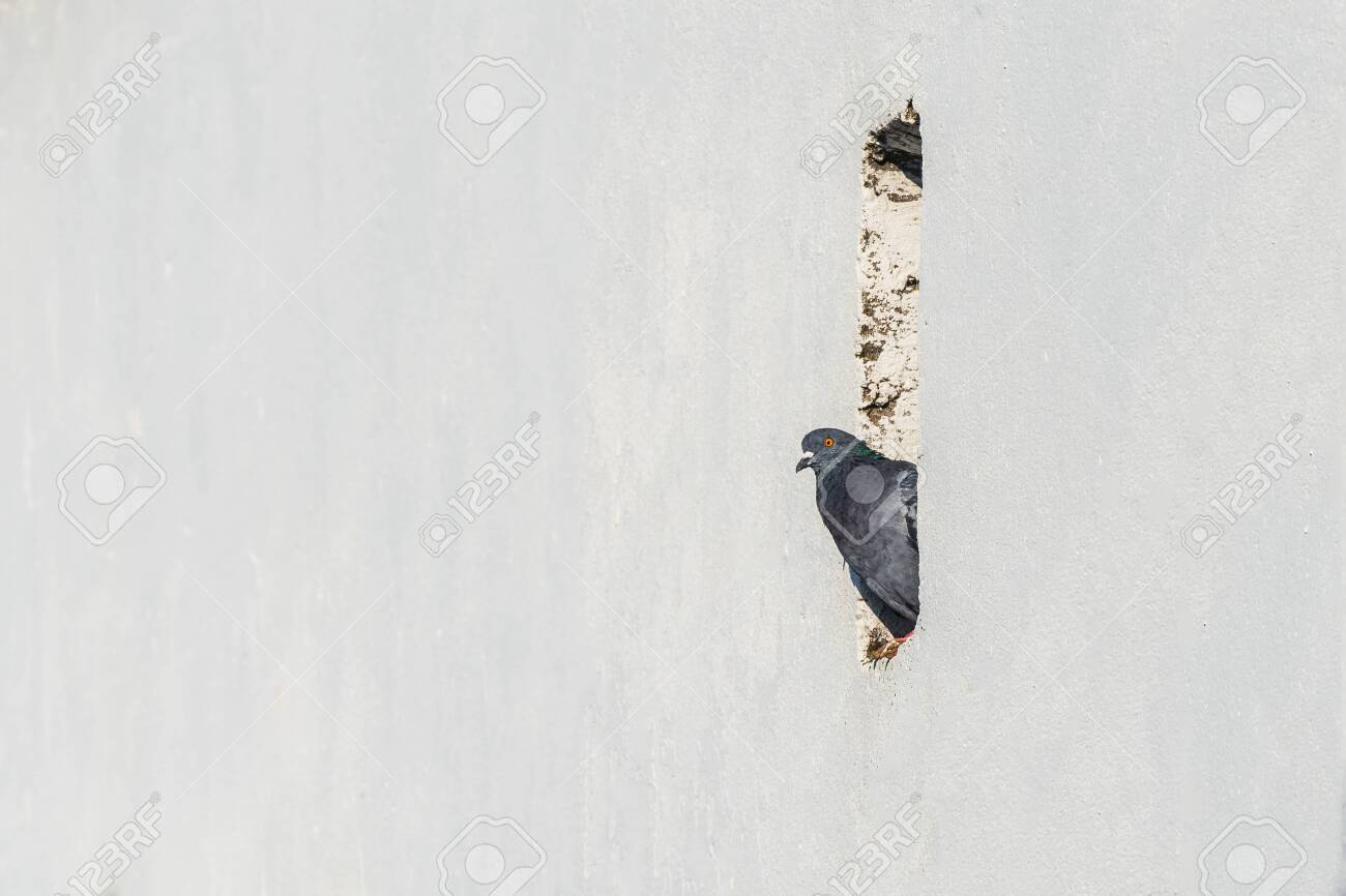 City pigeon. Space for copy on white background - 156846764
