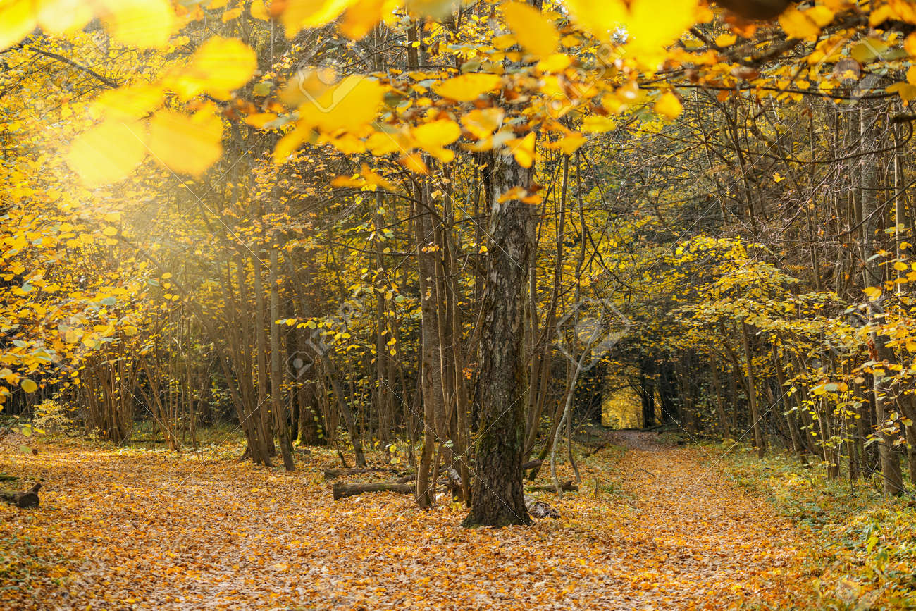 Sunny autumn day in forest. Landscape with yellow leaves on trees in woods - 156846765