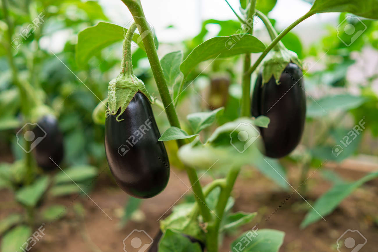 Nutrition eggplants grow in a greenhouse in the garden - 172635265