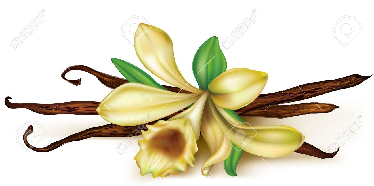 fleur de vanille et de gousses sèches sur un fond blanc clip art